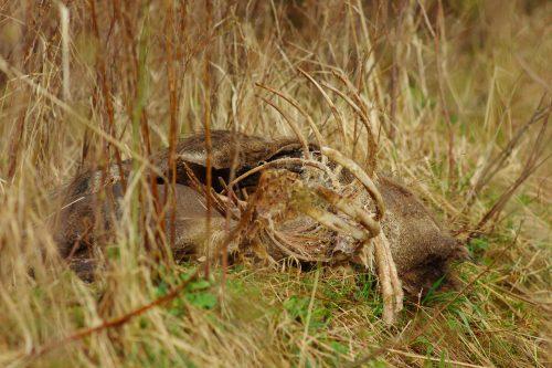 Surnud siga Tambul ©Nahkanuia